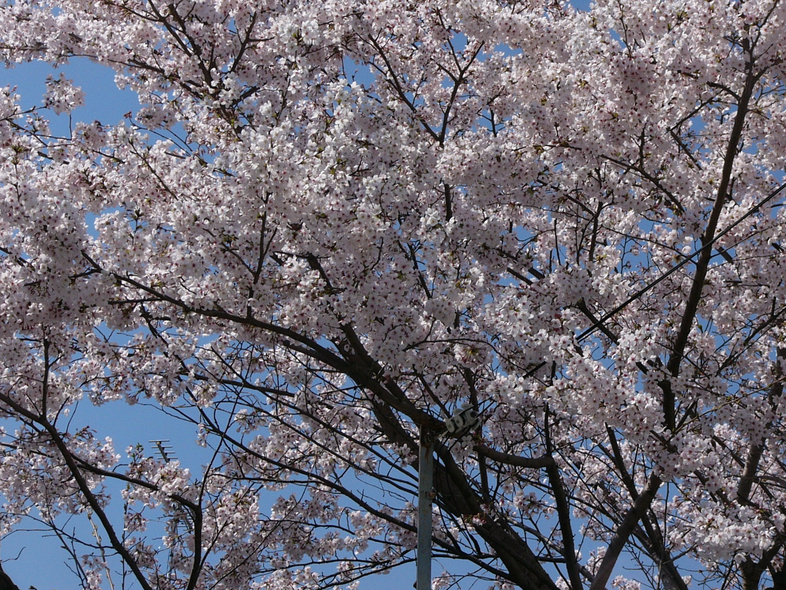 団地桜.JPG