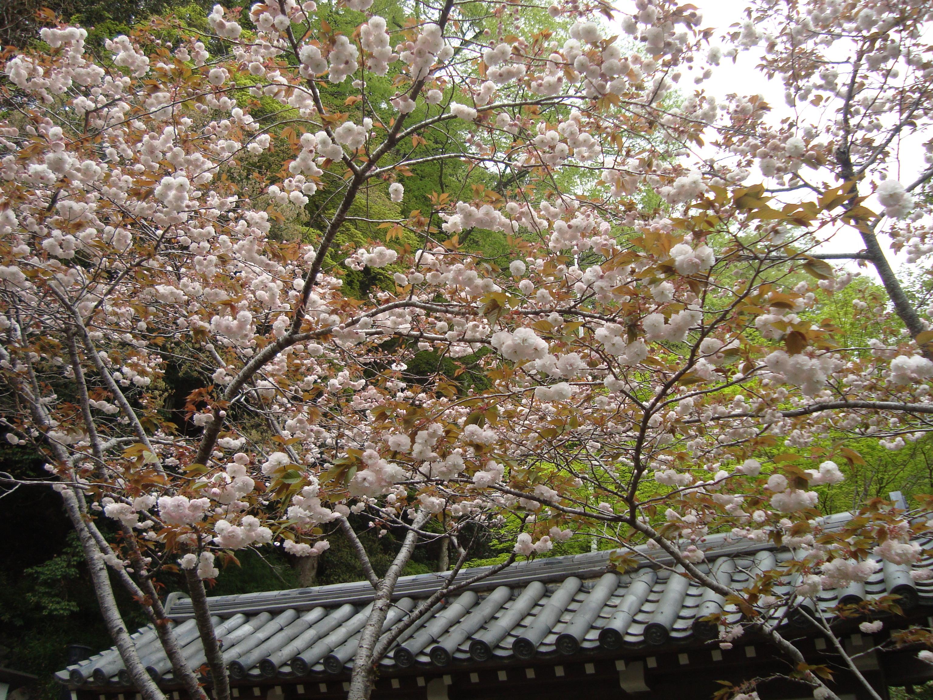 山門の桜.JPG