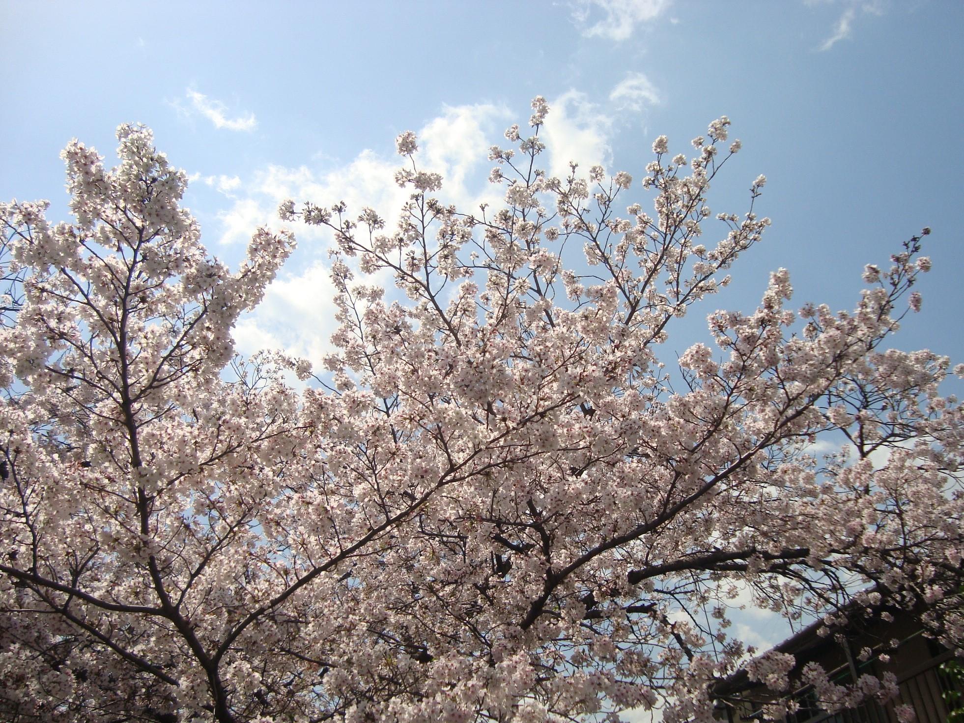 桜と青空.JPG