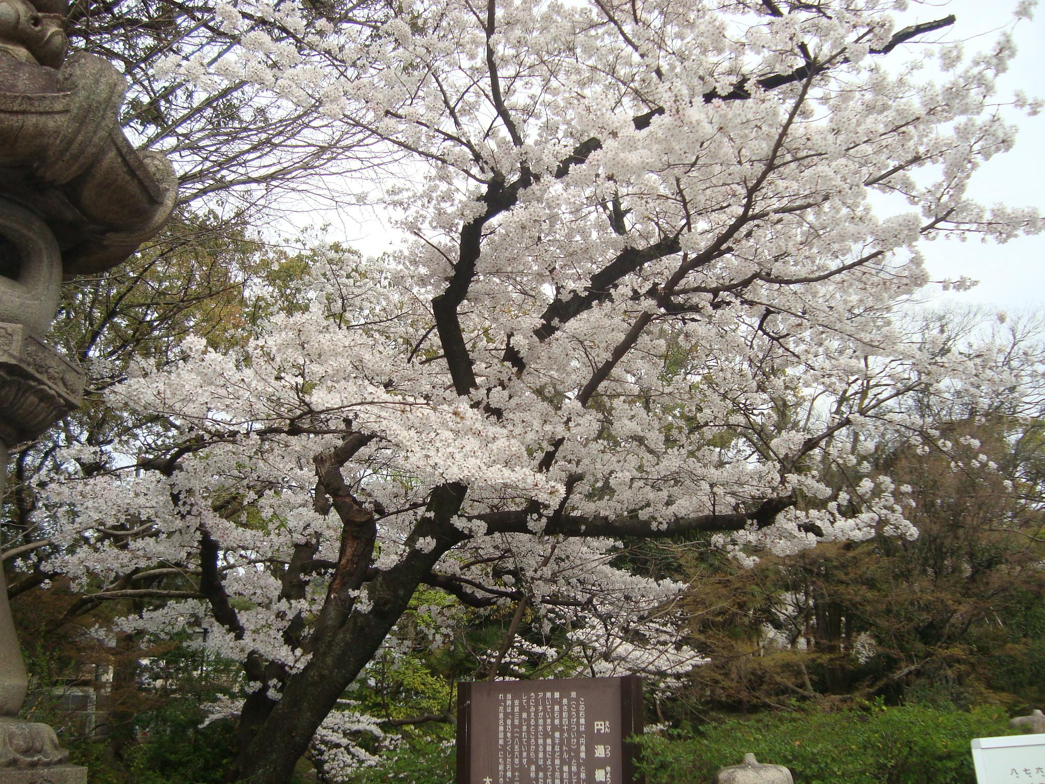 桜201443.JPG