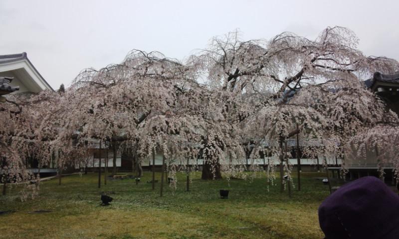 2013桜2.jpg