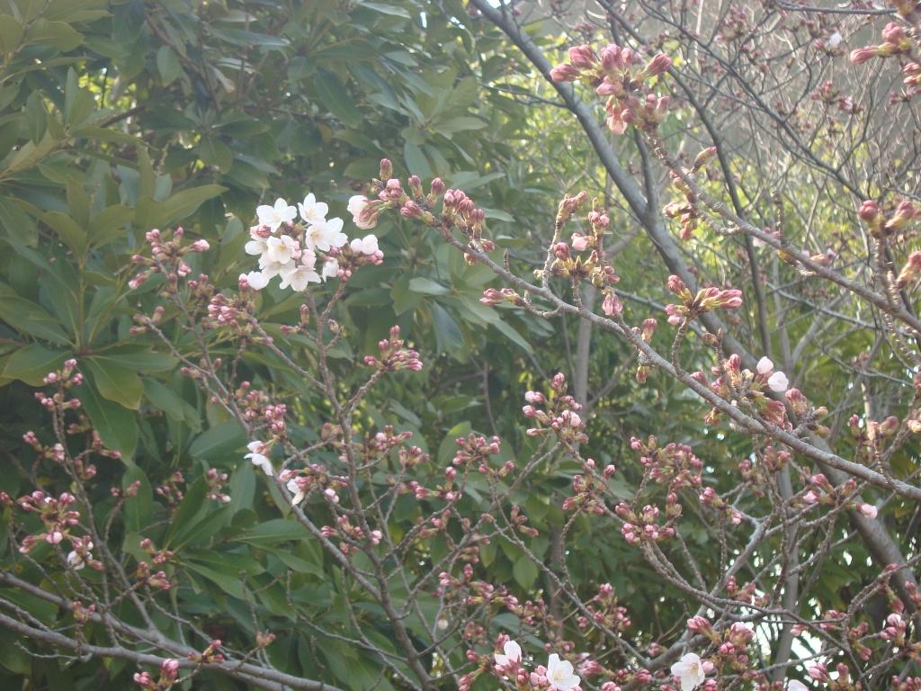 2016桜1.JPG