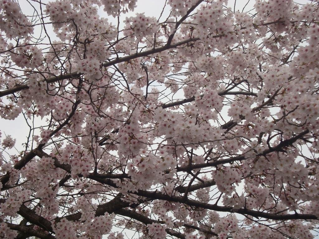 201644桜1.JPG