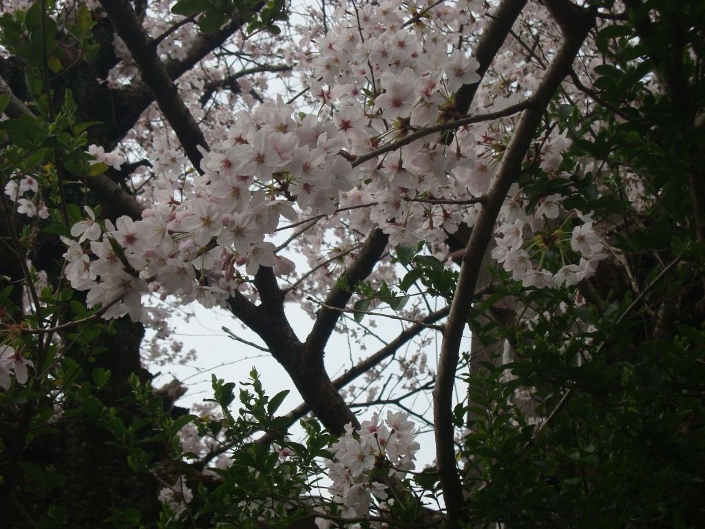 201644桜2.JPG